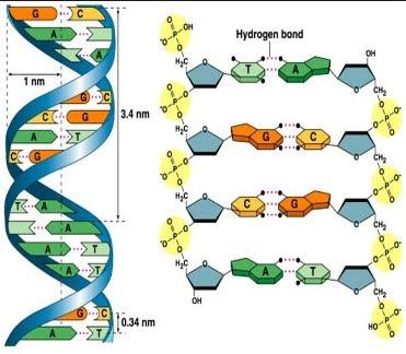 Xet-nghiem-ADN-Acid-Deoxyribonucleic