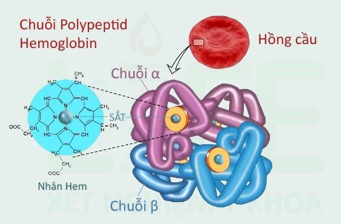 benh-thalassemia-the-alpha-va-the-beta